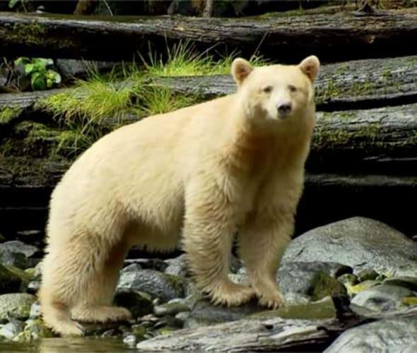 white bear in canadian rockies
