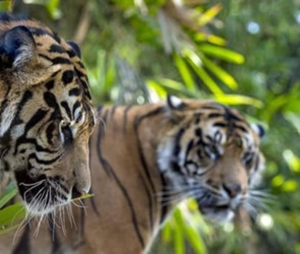 tigers at san diego zoo safari park