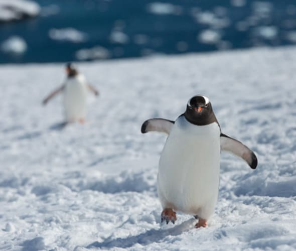 see penguins on a silversea cruise to antarctica