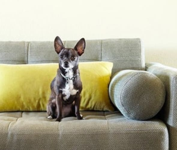 Dog sitting on sofa in a home covered by AAA insurance