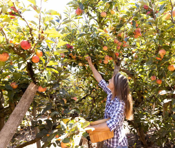 A woman picks an apple at Gizdich Ranch in Watsonville, CA.