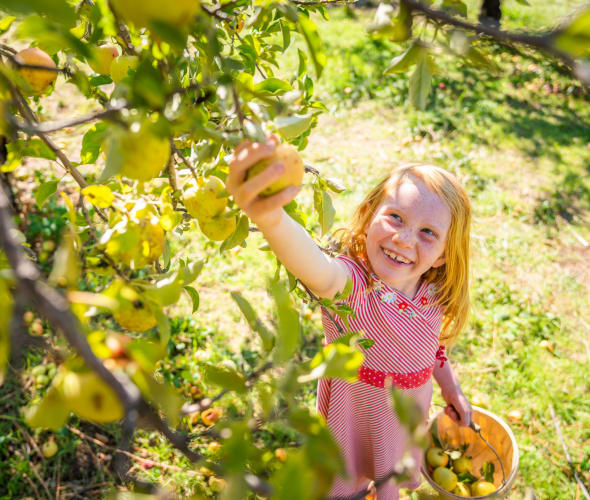 A girl picks apples at Apple Hill in California's El Dorado County.