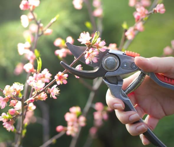 A gardener prunes a flowering peach tree.
