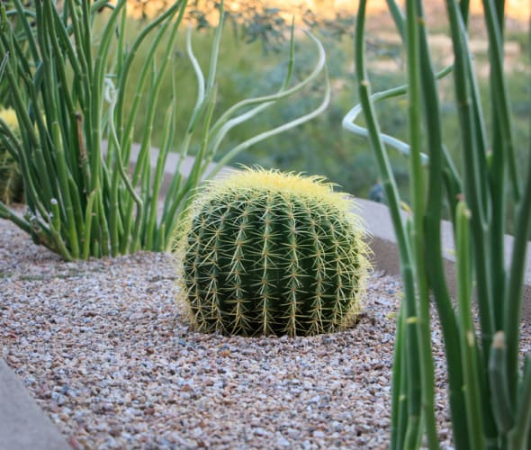 Cacti and succulents grow in gravel in a desert landscape.